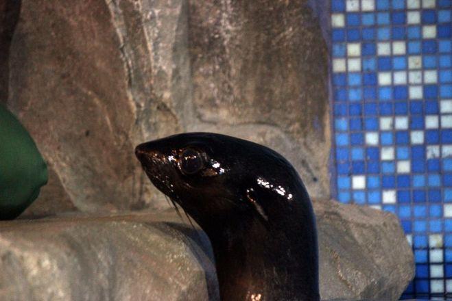 Северный морской котик Зонтик прибыл в нижегородский зоопарк - фото 1