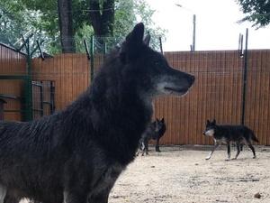 Шесть волков из нижегородского «Мишутки» переехали в балахнинский зоопарк