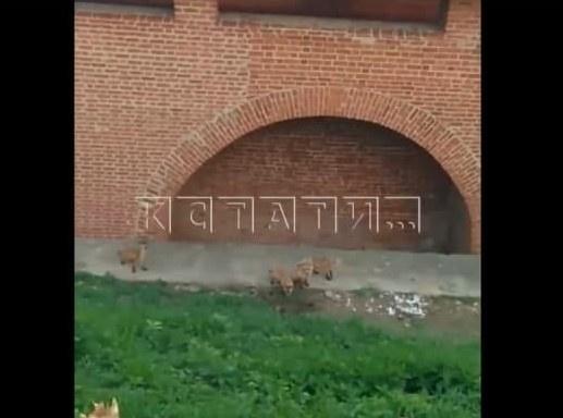 Семейство лис заметили на территории Нижегородского кремля - фото 1