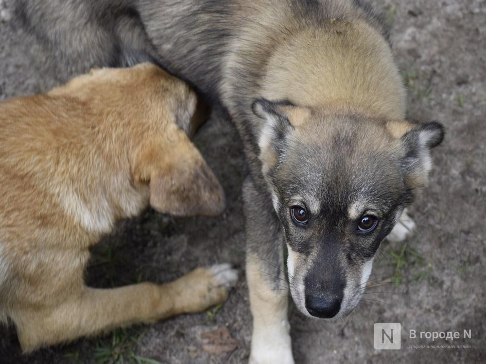 Догхантеры в Нижнем Новгороде: что им грозит и как обезопасить свою собаку - фото 1
