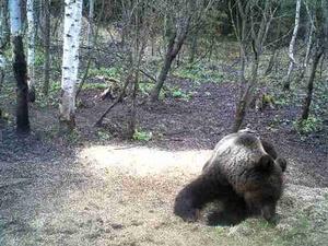 Охота на медведя запрещена с 1 декабря 2019 года