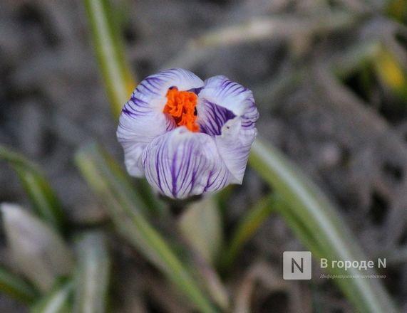 Первые цветы распустились в Нижнем Новгороде - фото 3
