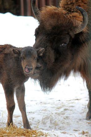 Зубр и гиббон родились в зоопарке Нижнего Новгорода - фото 5