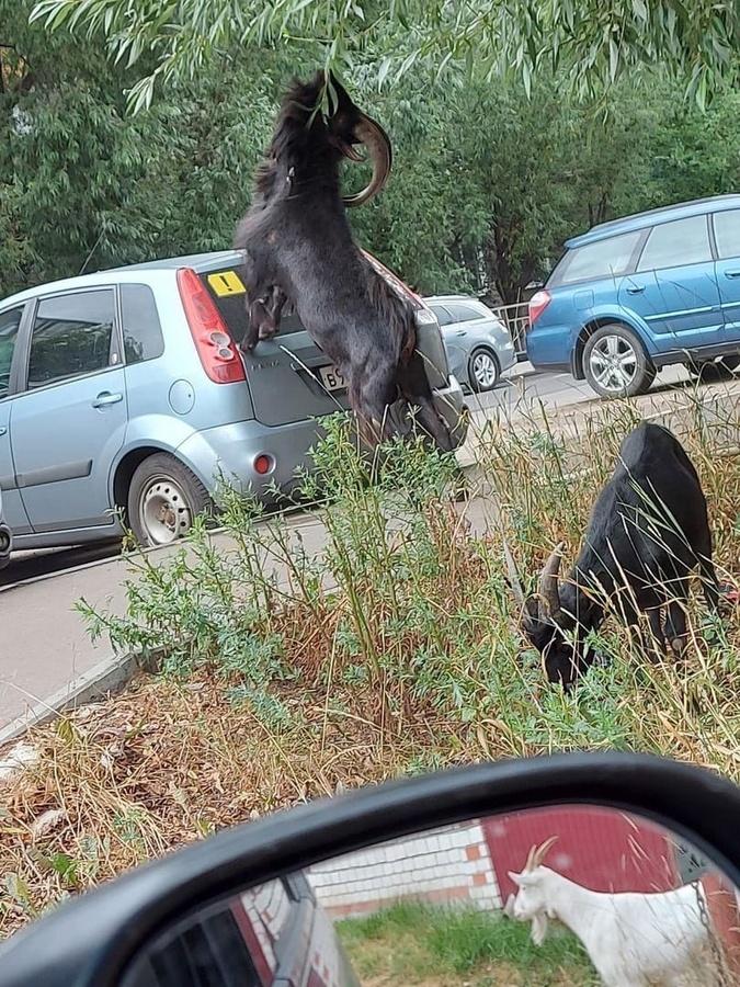 Соцсети: козлы бросаются под машины в Нижнем Новгороде - фото 1